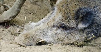 Wildschwein Wildbret ASP cb