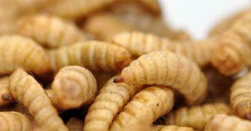 Insektenprotein