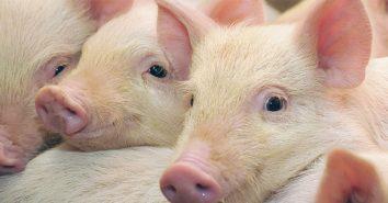 Schweinderl Dänemark