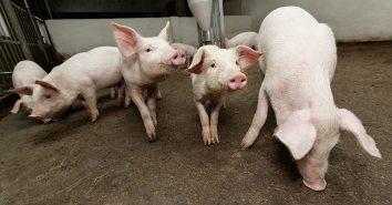 Schweine Tierwohl