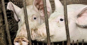 ITW Phase 3 Schweine