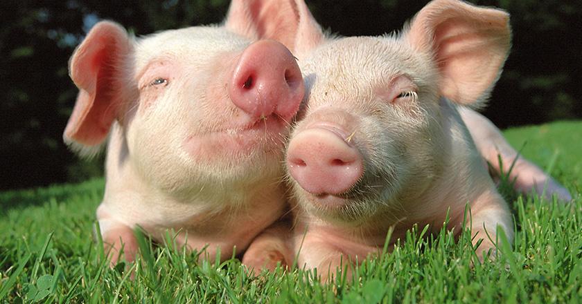Schweinefleisch Food-Pairing Rezepte
