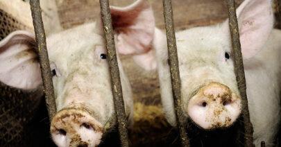 ASP Hausschweine Ausbruch Brandenburg