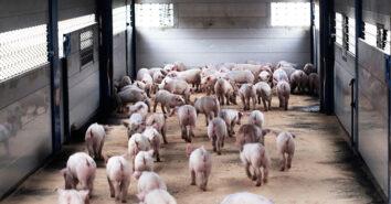 Daenemark Schweine Schutzmassnahmen ASP